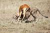 Cheetah_Feast_Mara_Kenya_Asilia_20150168