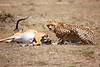 Cheetah_Feast_Mara_Kenya_Asilia_20150204
