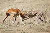 Cheetah_Feast_Mara_Kenya_Asilia_20150157