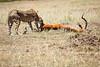 Cheetah_Feast_Mara_Kenya_Asilia_20150196