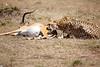 Cheetah_Feast_Mara_Kenya_Asilia_20150200
