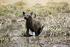 Hyena_Kenya_2015_Asilia_0012