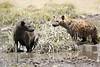 Hyena_Kenya_2015_Asilia_0013