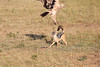 Jackal__With_Tawny_Eagle_Kenya_2015_Asilia_0004