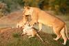 Lion_Cubs_Family_MaraNorth_Kenya_2015_Asilia_0023