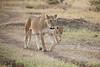 Lion_Cubs_Family_MaraNorth_Kenya_2015_Asilia_0013
