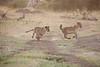 Lion_Cubs_Family_MaraNorth_Kenya_2015_Asilia_0009