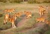 Lion_Cubs_Family_MaraNorth_Kenya_2015_Asilia_0028