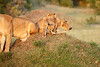 Lion_Cubs_Family_MaraNorth_Kenya_2015_Asilia_0024