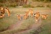Lion_Cubs_Family_MaraNorth_Kenya_2015_Asilia_0033