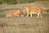Lion_Cubs_Family_MaraNorth_Kenya_2015_Asilia_0019