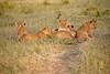 Lion_Cubs_Family_MaraNorth_Kenya_2015_Asilia_0039