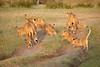 Lion_Cubs_Family_MaraNorth_Kenya_2015_Asilia_0029