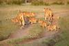 Lion_Cubs_Family_MaraNorth_Kenya_2015_Asilia_0030