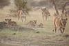 Lion_Cubs_Family_MaraNorth_Kenya_2015_Asilia_0007