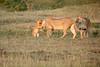Lion_Cubs_Family_MaraNorth_Kenya_2015_Asilia_0017