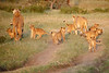Lion_Cubs_Family_MaraNorth_Kenya_2015_Asilia_0032