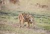 Lion_Cubs_Family_MaraNorth_Kenya_2015_Asilia_0011