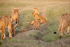 Lion_Cubs_Family_MaraNorth_Kenya_2015_Asilia_0026