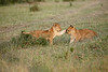 Lion_Cubs_Family_MaraNorth_Kenya_2015_Asilia_0040