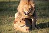 Lions_Mating_Mara_Kenya_2015_Asilia_0020