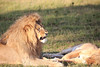 Lions_Mating_Mara_Kenya_2015_Asilia_0024