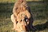 Lions_Mating_Mara_Kenya_2015_Asilia_0017
