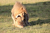 Lions_Mating_Mara_Kenya_2015_Asilia_0013