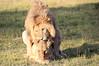 Lions_Mating_Mara_Kenya_2015_Asilia_0016