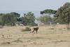 Lions_Warhog_Hunt_Mara_Kenya_2015_Asilia_0004