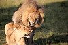 Lions_Mating_Mara_Kenya_2015_Asilia_0021