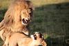 Lions_Mating_Mara_Kenya_2015_Asilia_0023