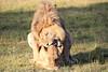 Lions_Mating_Mara_Kenya_2015_Asilia_0014