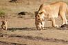 Mother_Lion_Transporting_Cubs_Asilia_0010