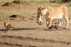 Mother_Lion_Transporting_Cubs_Asilia_0006