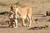 Mother_Lion_Transporting_Cubs_Asilia_0002