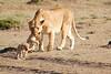 Mother_Lion_Transporting_Cubs_Asilia_0015