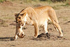 Mother_Lion_Transporting_Cubs_Asilia_0007