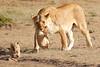 Mother_Lion_Transporting_Cubs_Asilia_0014
