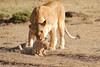 Mother_Lion_Transporting_Cubs_Asilia_0018