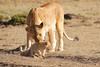 Mother_Lion_Transporting_Cubs_Asilia_0017