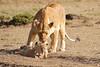 Mother_Lion_Transporting_Cubs_Asilia_0019