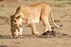 Mother_Lion_Transporting_Cubs_Asilia_0009