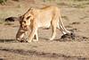Mother_Lion_Transporting_Cubs_Asilia_0012