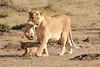 Mother_Lion_Transporting_Cubs_Asilia_0003