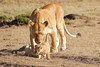 Mother_Lion_Transporting_Cubs_Asilia_0021