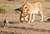 Mother_Lion_Transporting_Cubs_Asilia_0013