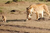 Mother_Lion_Transporting_Cubs_Asilia_0008