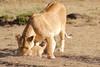 Mother_Lion_Transporting_Cubs_Asilia_0025