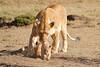 Mother_Lion_Transporting_Cubs_Asilia_0020